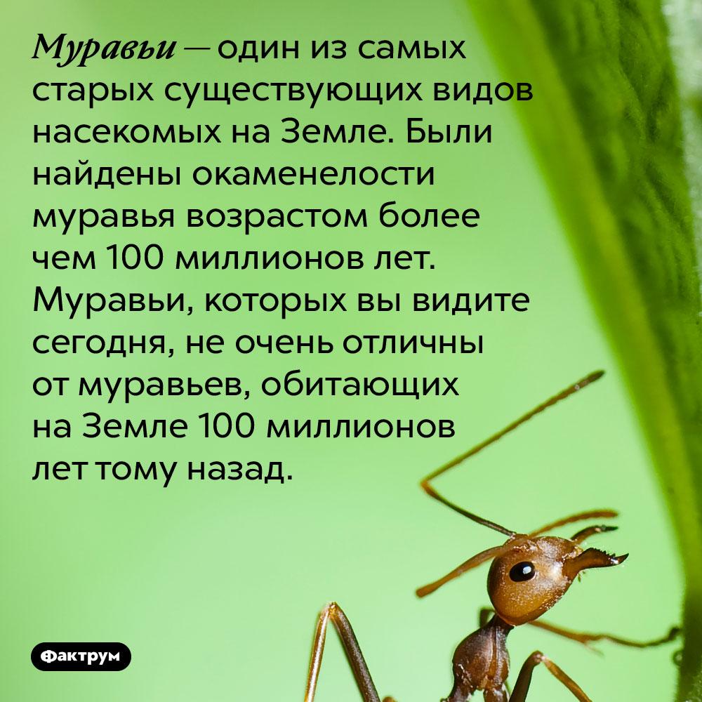 Муравьи — один из самых древних существующих видов насекомых на Земле. Были найдены окаменелости муравья возрастом более чем 100 миллионов лет. Муравьи, которых вы видите сегодня, не очень отличаются от муравьев, обитающих на Земле более чем 100 миллионов лет тому назад.