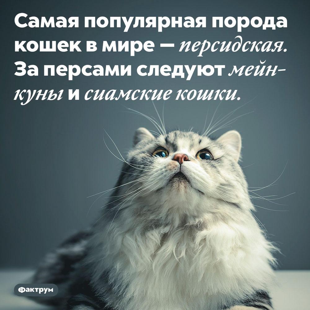 Самая популярная порода кошек в мире — персидская. За персами следуют мейн-куны и сиамские кошки.