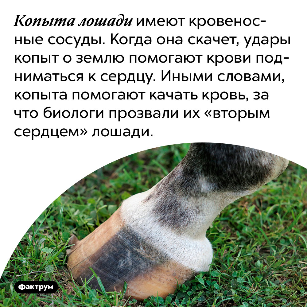 Копыта лошади имеют кровеносные сосуды. Когда она скачет, удары копыт о землю помогают крови подниматься к сердцу. Иными словами, копыта помогают качать кровь, за что биологи прозвали их «вторым сердцем» лошади.