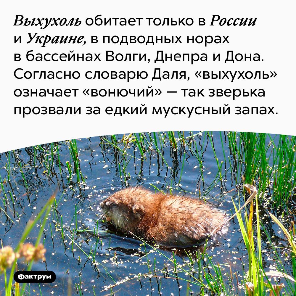 Выхухоль обитает только в России и Украине, в подводных норах в бассейнах Волги, Днепра и Дона. Согласно словарю Даля, «выхухоль» означает «вонючий» — так зверька прозвали за едкий мускусный запах.