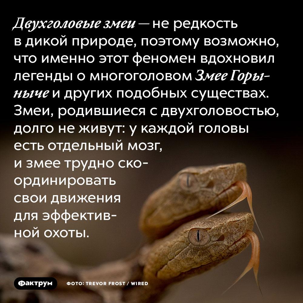 Двухголовые змеи — не редкость в дикой природе, поэтому возможно, что именно этот феномен вдохновил легенды о многоголовом Змее Горыныче и других подобных существах. Змеи, родившиеся с двухголовостью, долго не живут: у каждой головы есть отдельный мозг, и змее трудно скоординировать свои движения для эффективной охоты.