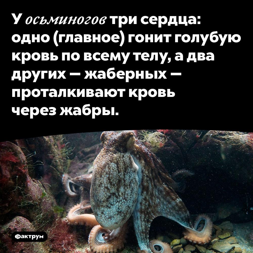 У осьминогов три сердца. Одно (главное) гонит голубую кровь по всему телу, а два других — жаберных — проталкивают кровь через жабры.