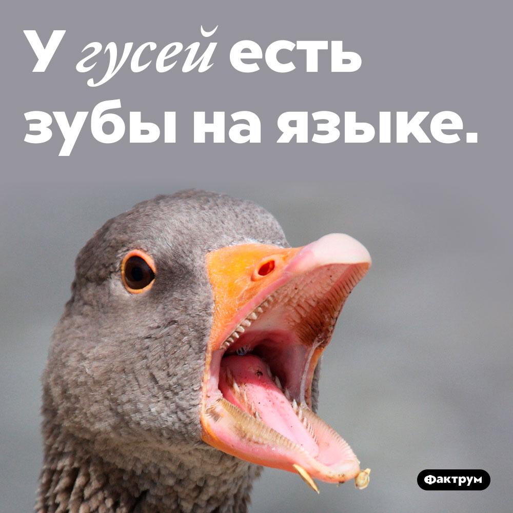 У гусей есть зубы на языке.