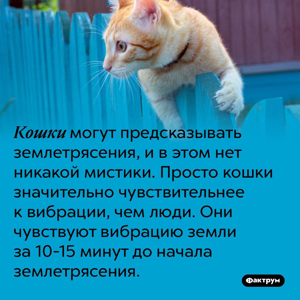 Кошки могут предсказывать землетрясения, и в этом нет никакой мистики. Просто кошки значительно чувствительнее к вибрации, чем люди. Они чувствуют вибрацию земли за 10-15 минут до начала землетрясения.