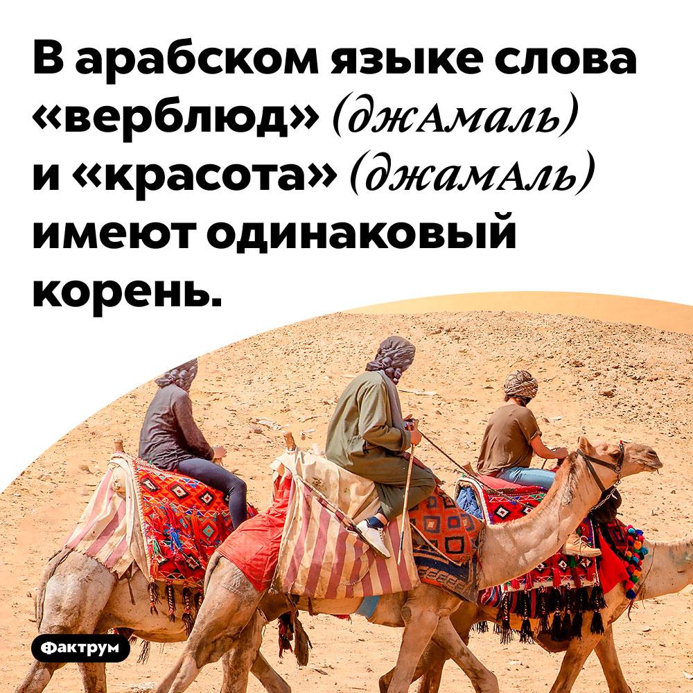 В арабском языке слова «верблюд» (джАмаль) и «красота» (джамАль) имеют одинаковый корень.