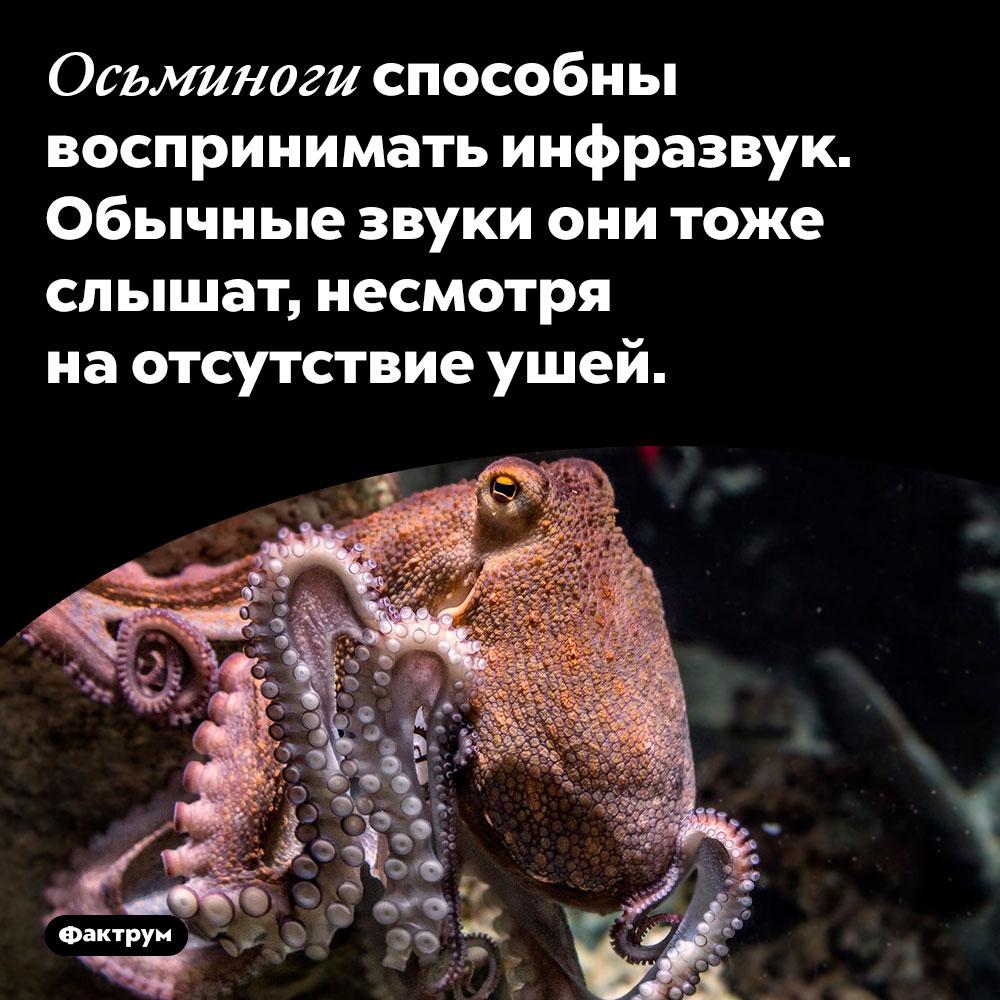 Осьминоги способны воспринимать инфразвук. Обычные звуки они тоже слышат, несмотря на отсутствие ушей.
