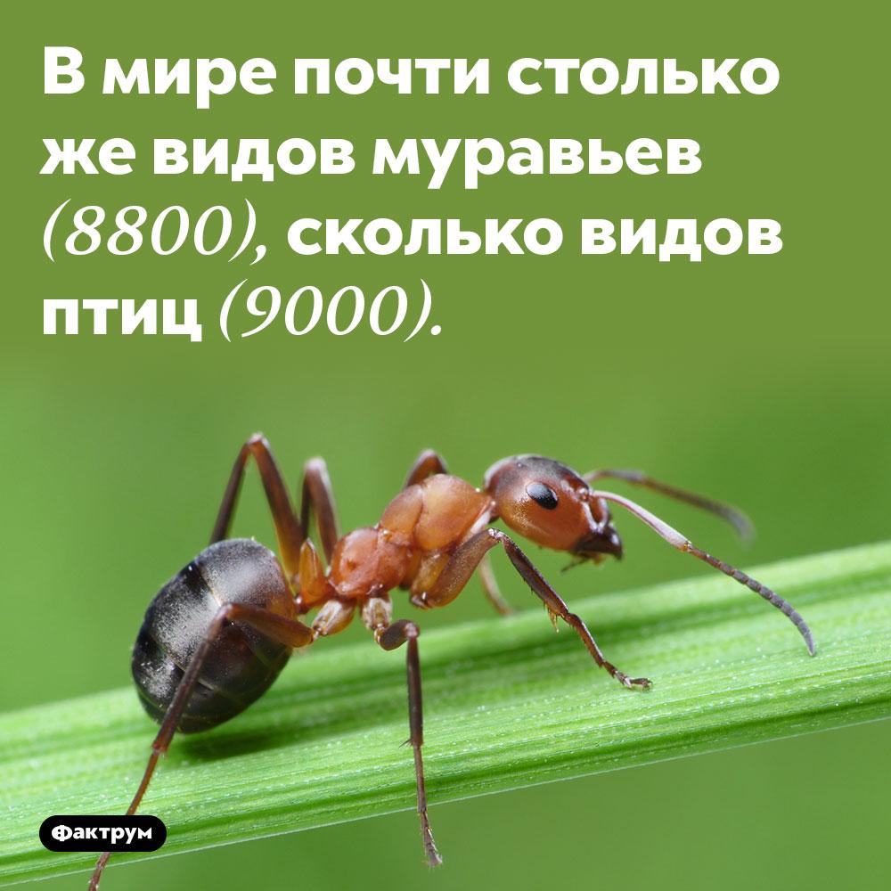 В мире почти столько же видов муравьев, сколько видов птиц. 8800 видов муравьёв и 9000 видов птиц.