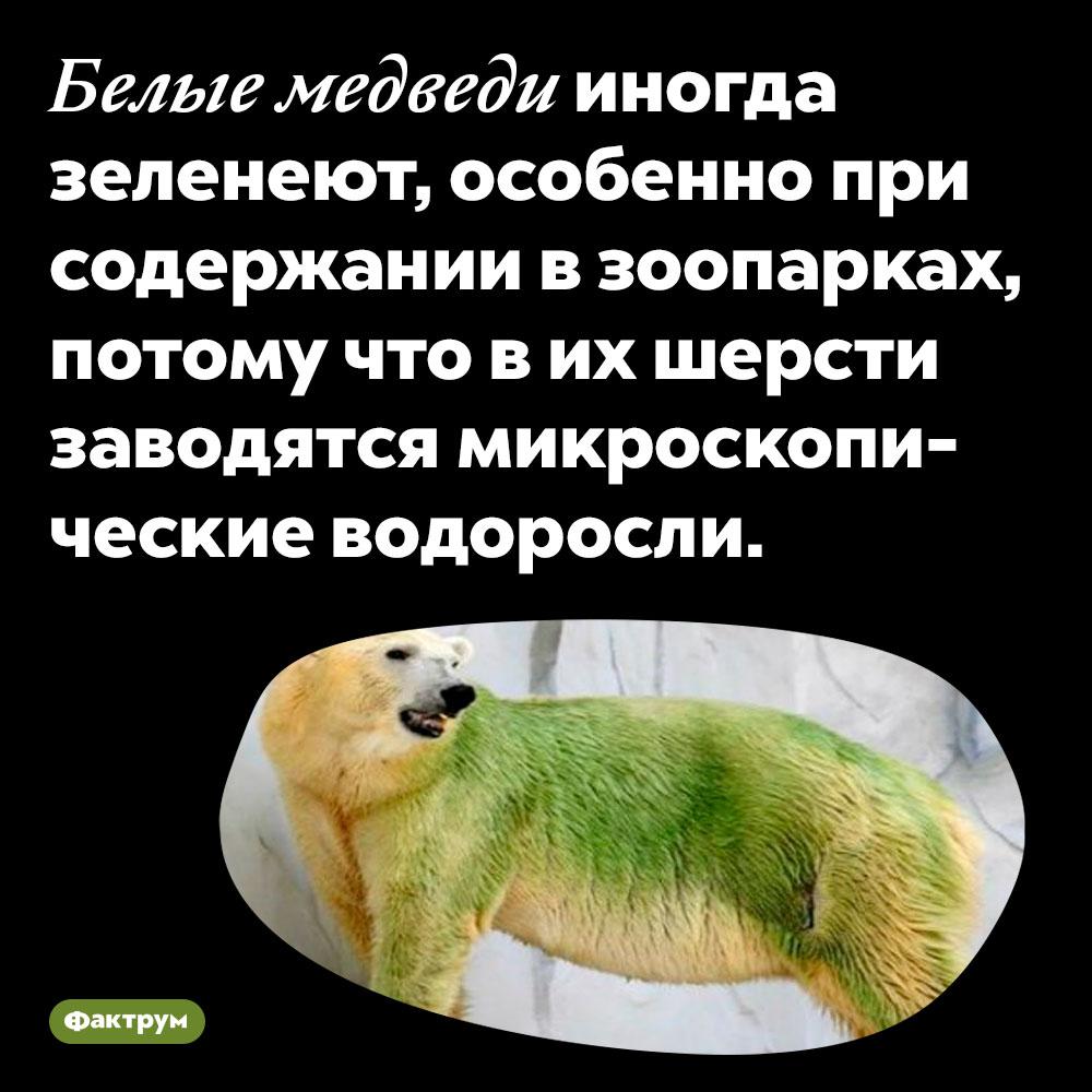 Белые медведи иногда зеленеют, особенно при содержании в зоопарках, потому что в их шерсти заводятся микроскопические водоросли.