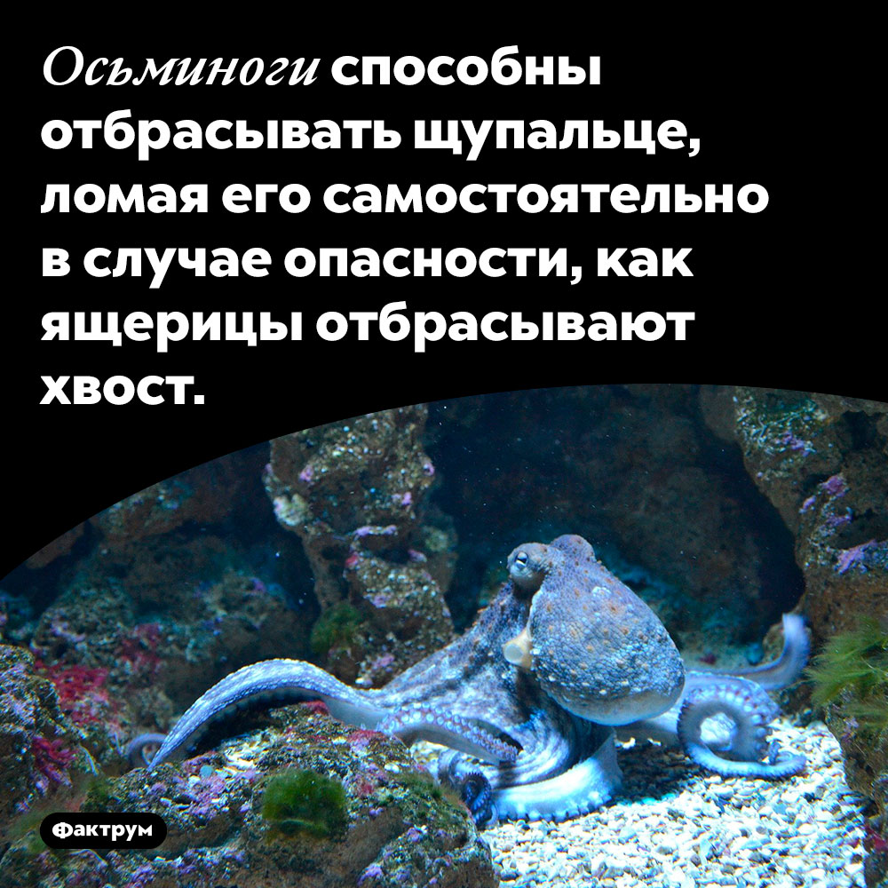 Осьминоги способны отбрасывать щупальце. ...ломая его самостоятельно в случае опасности, как ящерицы отбрасывают хвост.