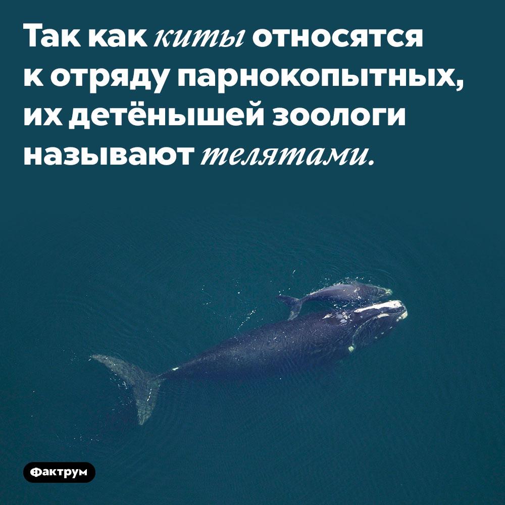 Так как киты относятся к отряду парнокопытных, их детёнышей зоологи называют телятами.