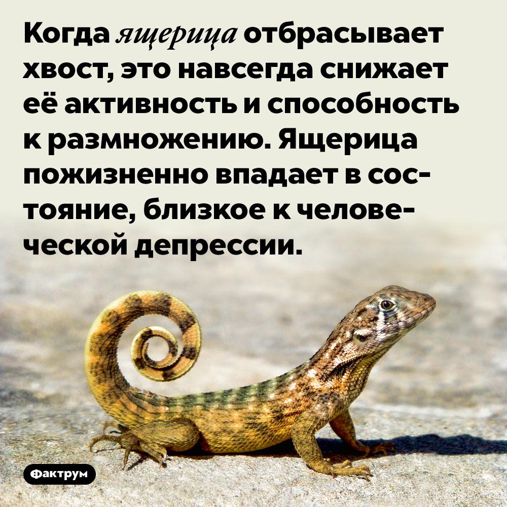 Когда ящерица отбрасывает хвост, это навсегда снижает её активность и способность к размножению. Ящерица пожизненно впадает в состояние, близкое к человеческой депрессии.