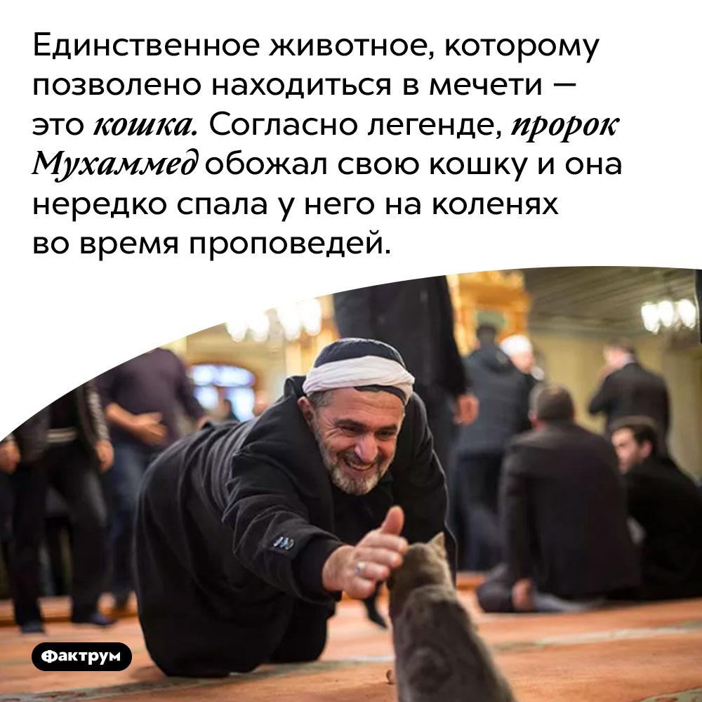 Единственное животное, которому позволено находиться в мечети — это кошка. Согласно легенде, пророк Мухаммед обожал свою кошку и она нередко спала у него на коленях во время проповедей.