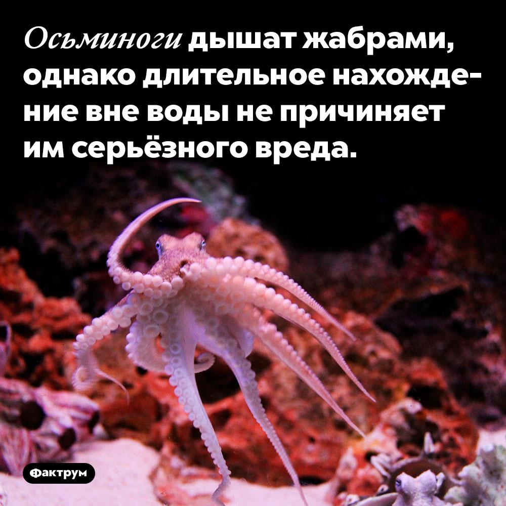 Осьминоги дышат жабрами. Однако длительное нахождение вне воды не причиняет им серьёзного вреда.