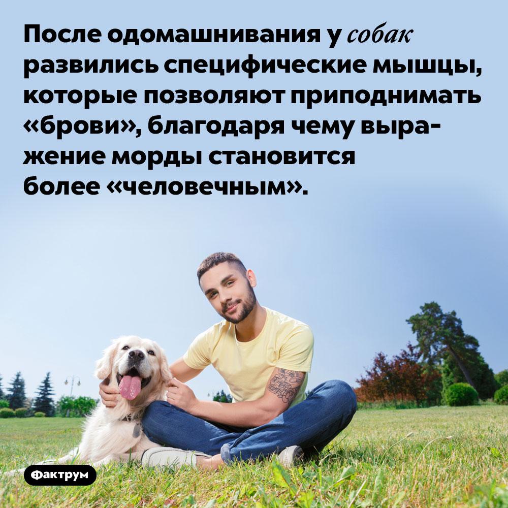 После одомашнивания у собак развились специфические мышцы. Эти мыщцы позволяют собаке приподнимать «брови», благодаря чему выражение морды становится более «человечным».