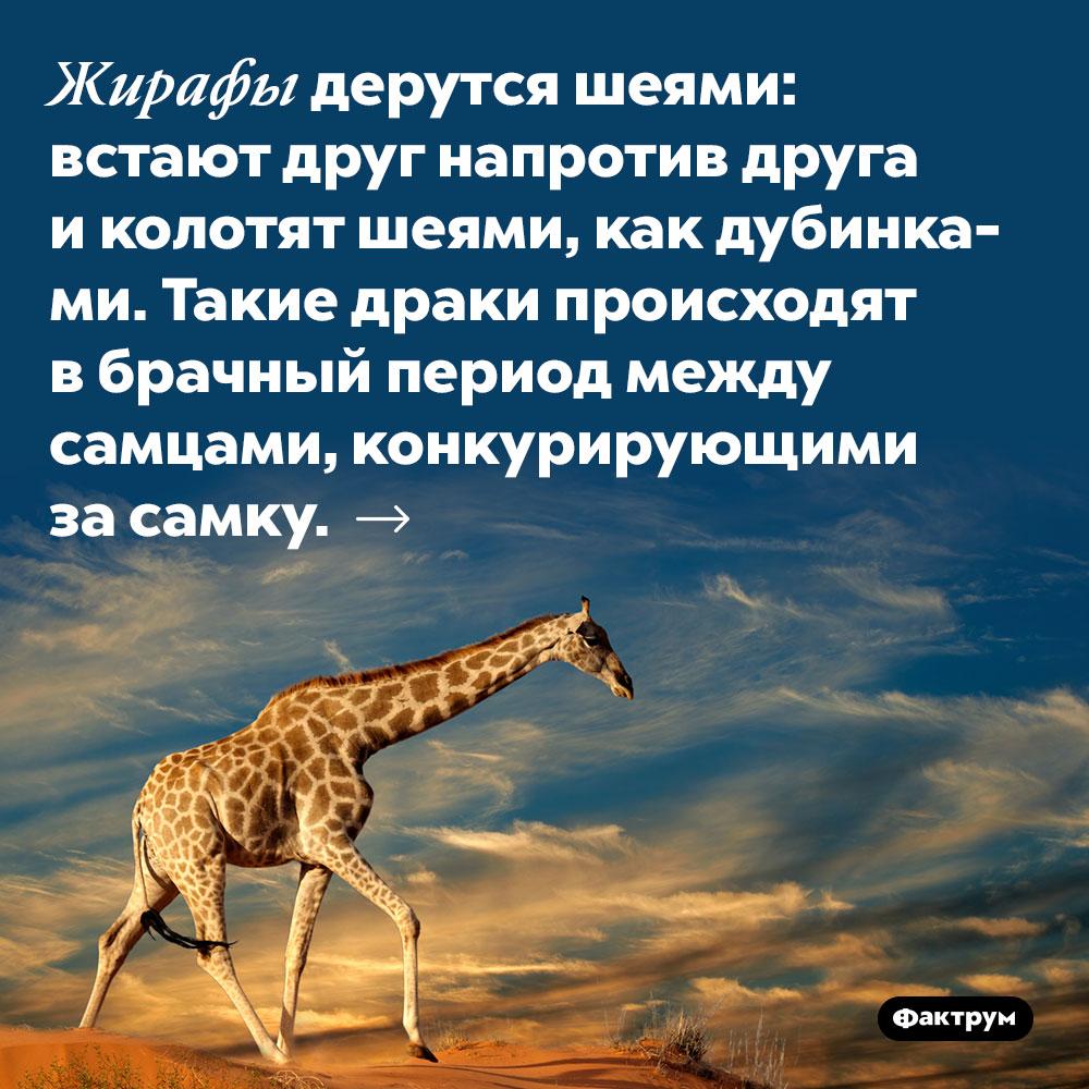 Жирафы дерутся шеями: встают друг напротив друга и колотят шеями, как дубинками. Такие драки происходят в брачный период между самцами, конкурирующими за самку.