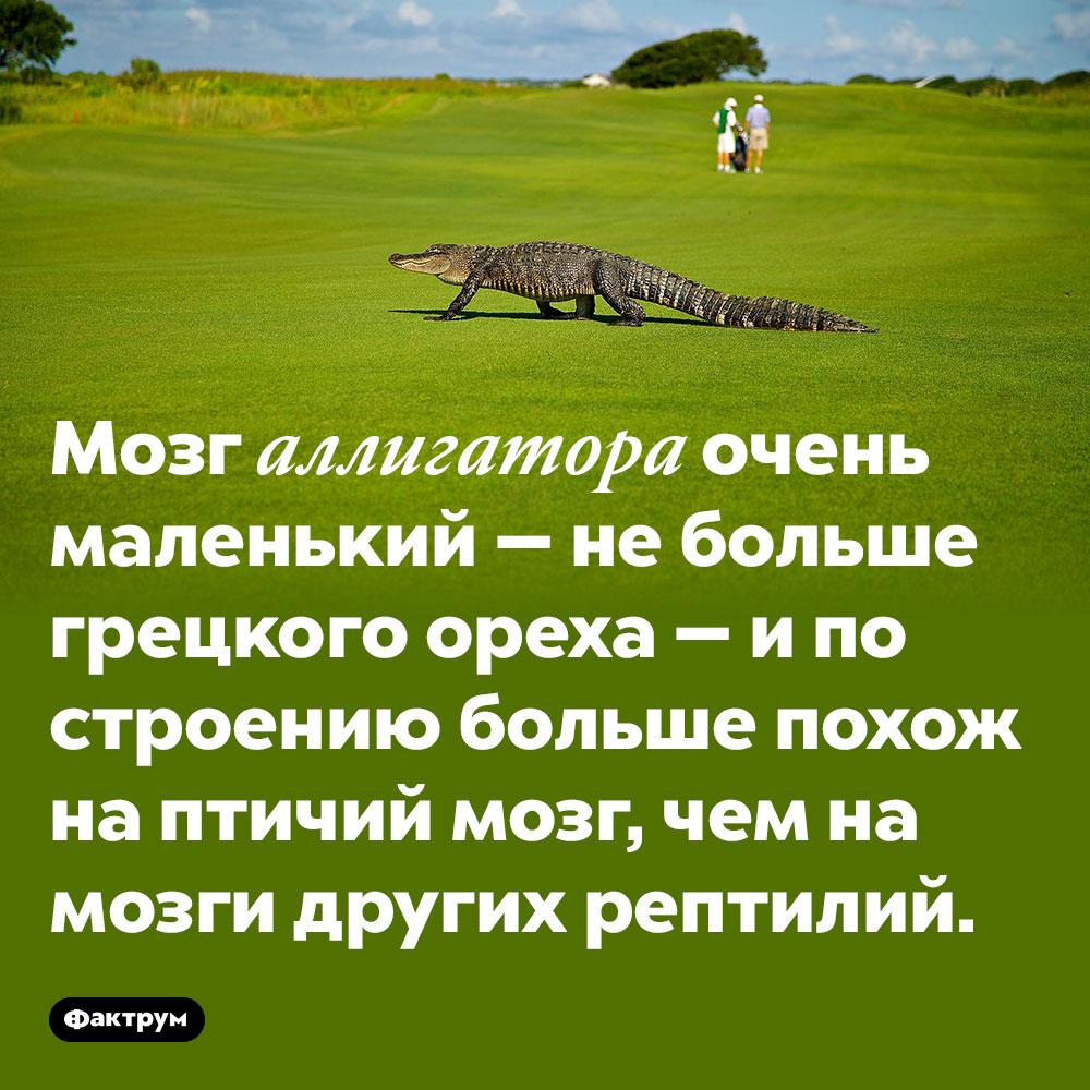 Мозг аллигатора очень маленький — не больше грецкого ореха — и по строению больше похож на птичий мозг, чем на мозги других рептилий.