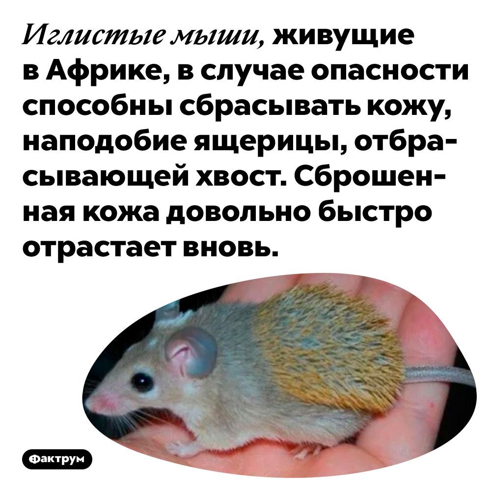 Иглистые мыши, живущие в Африке, в случае опасности способны сбрасывать кожу, наподобие ящерицы, отбрасывающей хвост. Сброшенная кожа довольно быстро отрастает вновь.