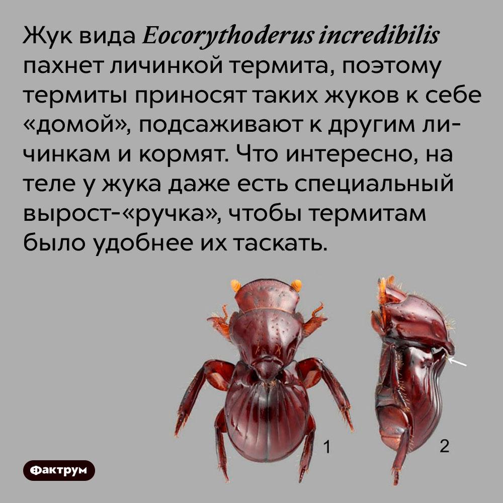 Жук вида Eocorythoderus incredibilis пахнет личинкой термита, поэтому термиты приносят таких жуков к себе «домой», подсаживают к другим личинкам и кормят. Что интересно, на теле у жука даже есть специальный вырост-«ручка», чтобы термитам было удобнее их таскать.