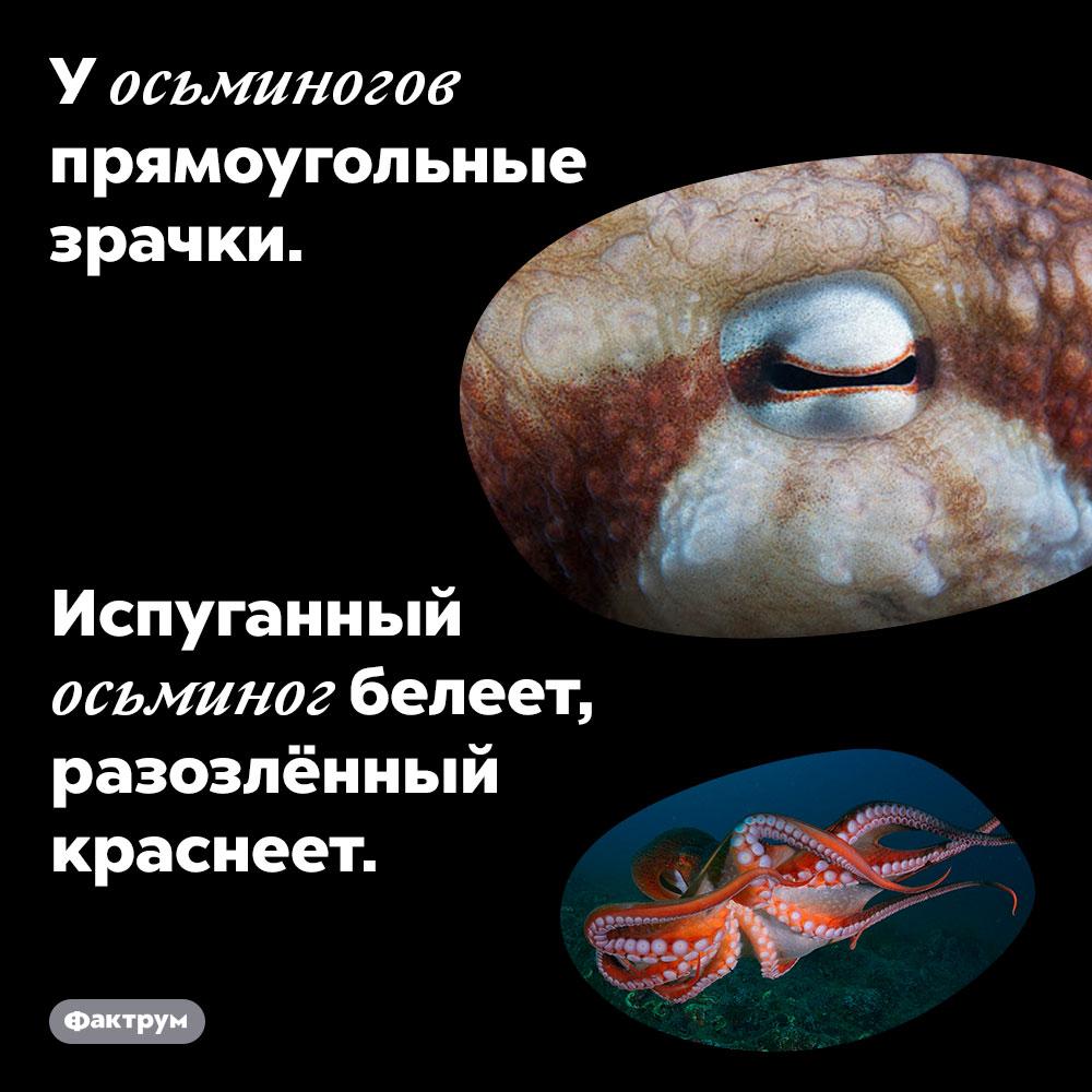 У осьминогов прямоугольные зрачки. Испуганный осьминог белеет, разозлённый краснеет.