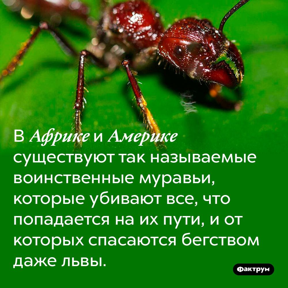 В Африке и Америке существуют так называемые воинственные муравьи, которые убивают все, что попадается на их пути, и от которых спасаются бегством даже львы.