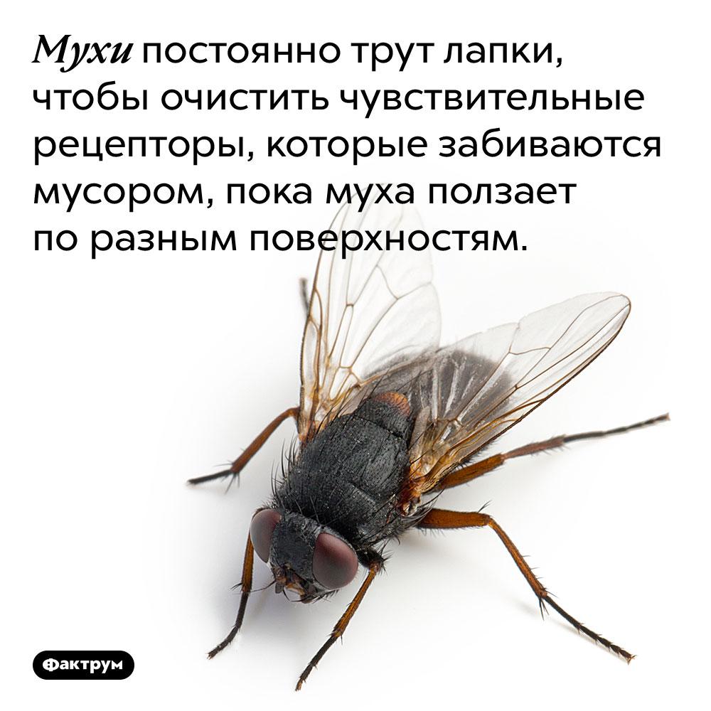 Мухи постоянно трут лапки, чтобы очистить чувствительные рецепторы, которые забиваются мусором, пока муха ползает по разным поверхностям.