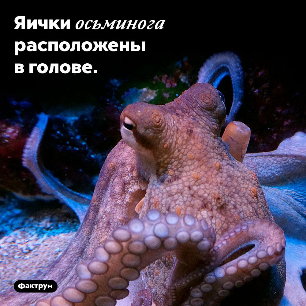 Яички осьминога расположены в голове.