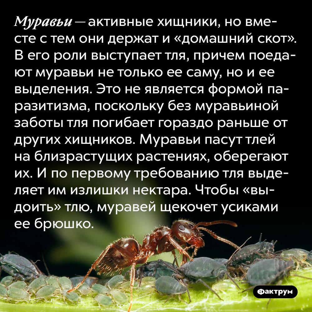 Муравьи — активные хищники, но вместе с тем они держат и «домашний скот».  В его роли выступает тля, причем поедают муравьи не только ее саму, но и ее выделения. Это не является формой паразитизма, поскольку без муравьиной заботы тля погибает гораздо раньше от других хищников. Муравьи пасут тлей на близрастущих растениях, оберегают их. И по первому требованию тля выделяет им излишки нектара. Чтобы «выдоить» тлю, муравей щекочет усиками ее брюшко.