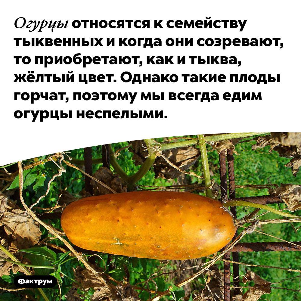 Огурцы — родственники тыквы. Огурцы относятся к семейству тыквенных и когда они созревают, то приобретают, как и тыква, жёлтый цвет. Однако такие плоды горчат, поэтому мы всегда едим огурцы неспелыми.