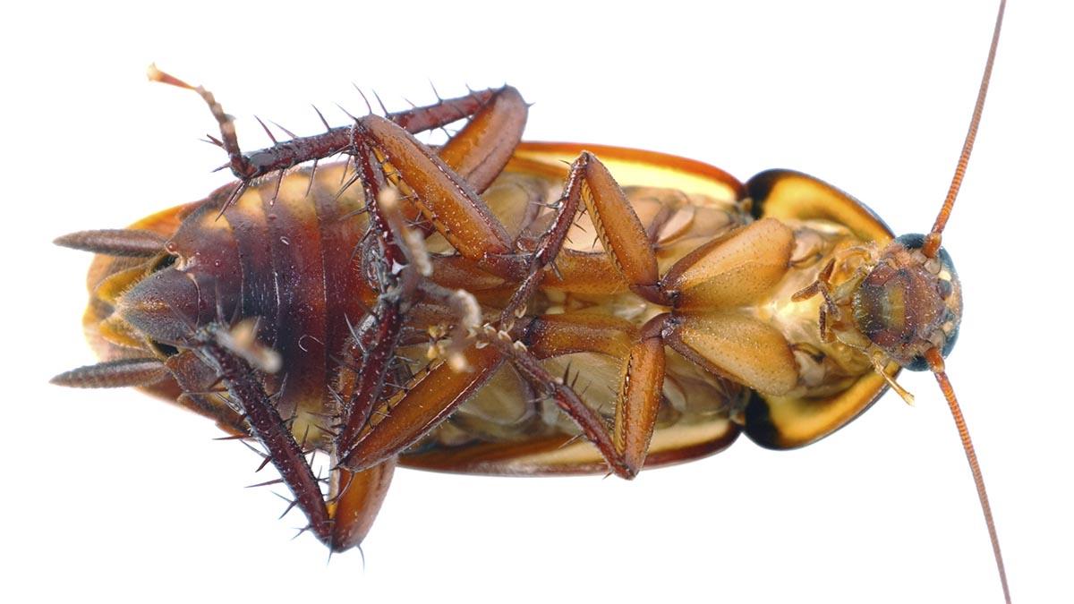 Зачем тараканам «коробочка» идругие интересные факты про тараканов