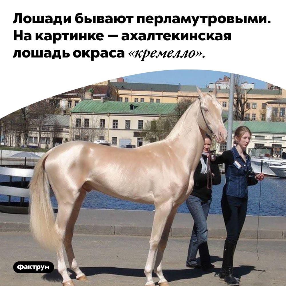 Лошади бывают перламутровыми. На картинке — ахалтекинская лошадь окраса «кремелло».