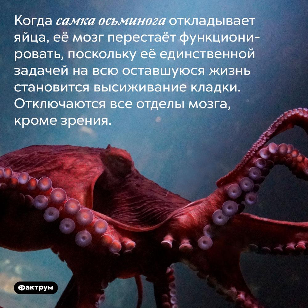 Усамки осьминога, отложившей яйца, перестаёт работать мозг. Когда самка осьминога откладывает яйца, её мозг перестаёт функционировать, поскольку её единственной задачей на всю оставшуюся жизнь становится высиживание кладки. Отключаются все отделы мозга, кроме зрения.