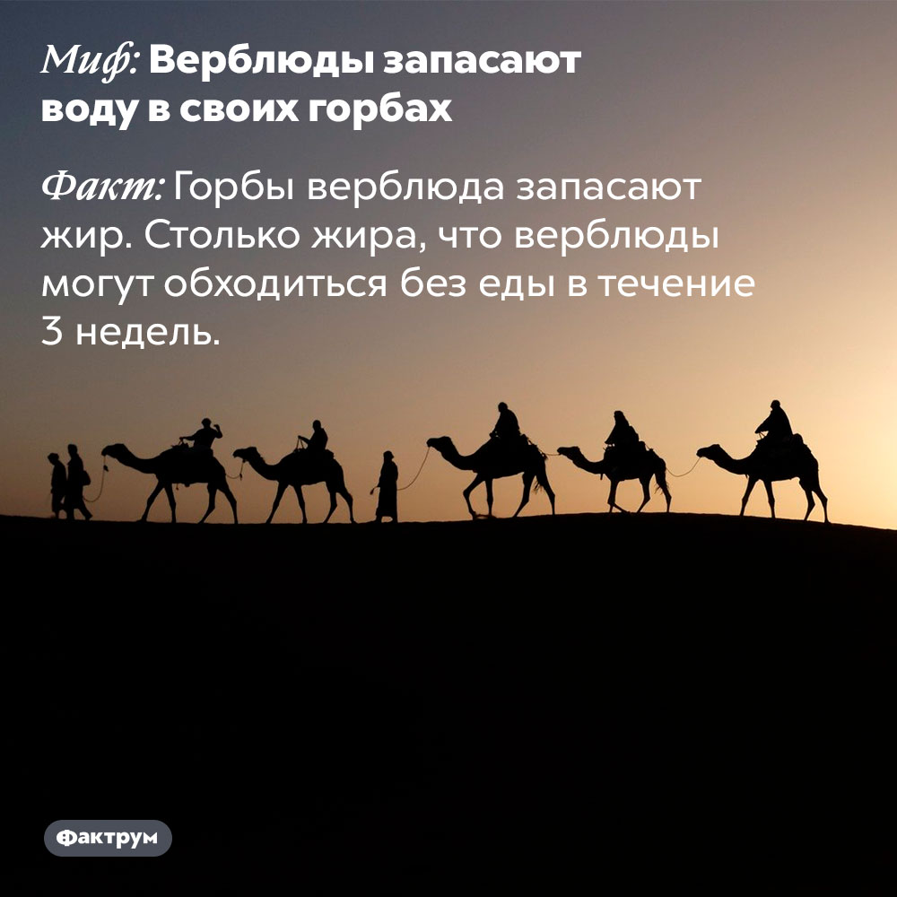 Верблюды незапасают воду всвоих горбах. Горбы верблюда запасают жир. Столько жира, что верблюды могут обходиться без еды в течение 3 недель.