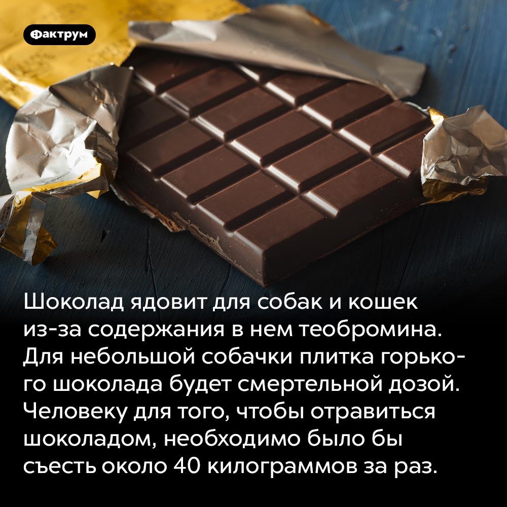 Ядовитый шоколад. Шоколад ядовит для собак и кошек из-за содержания в нем теобромина. Для небольшой собачки плитка горького шоколада будет смертельной дозой. Человеку для того, чтобы отравиться шоколадом, необходимо было бы съесть около 40 килограммов за раз.