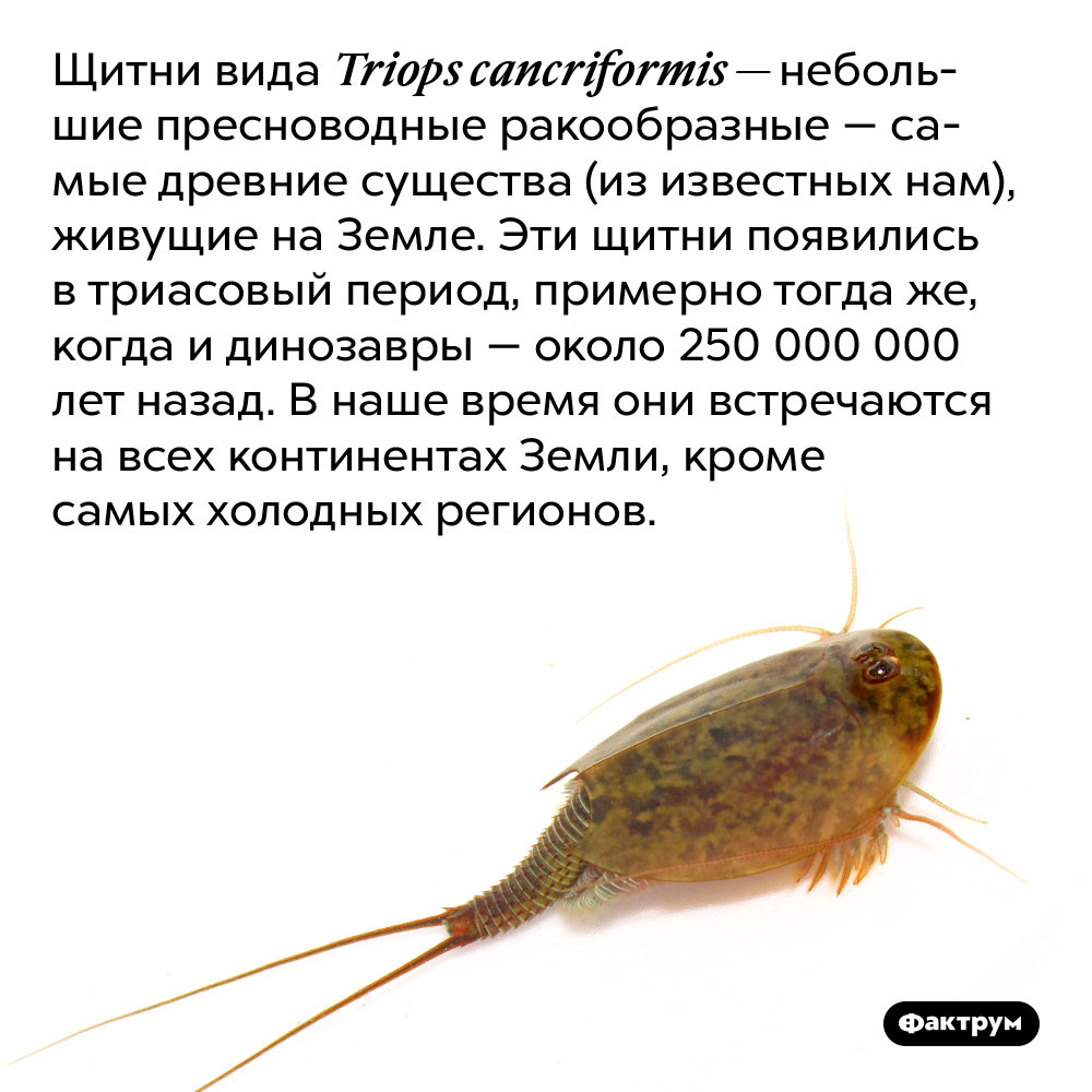 Самые древние животные нанашей планете — пресноводные ракообразные. Щитни вида Triops cancriformis — небольшие пресноводные ракообразные — самые древние существа (из известных нам), живущие на Земле. Эти щитни появились в триасовый период, примерно тогда же, когда и динозавры — около 250 000 000 лет назад. В наше время они встречаются на всех континентах Земли, кроме самых холодных регионов.