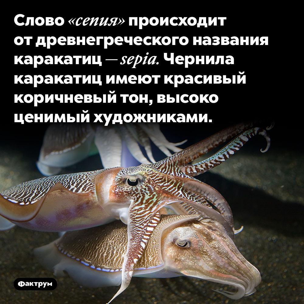 Слово «сепия» происходит отдревнегреческого названия каракатиц. Слово «сепия» происходит от древнегреческого названия каракатиц — sepia. Чернила каракатиц имеют красивый коричневый тон, высоко ценимый художниками.