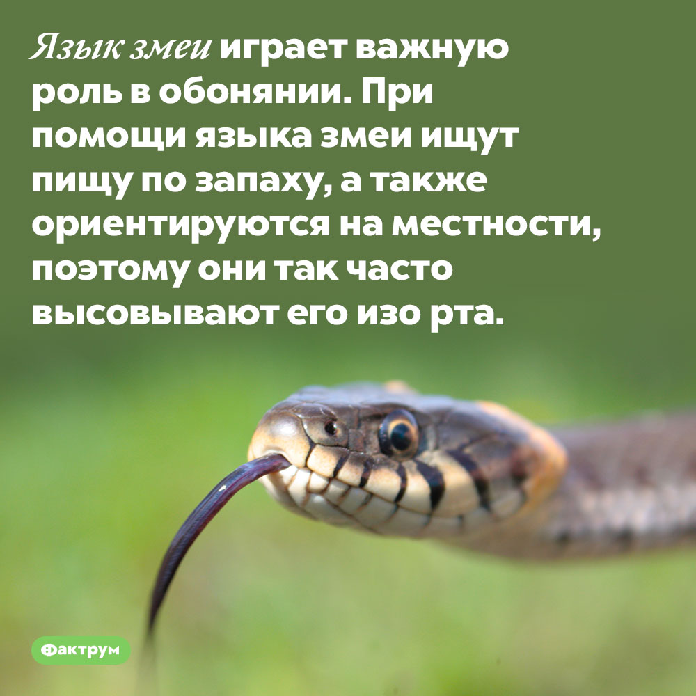 Язык змеи играет важную роль вобонянии. При помощи языка змеи ищут пищу по запаху, а также ориентируются на местности, поэтому они так часто высовывают его изо рта.