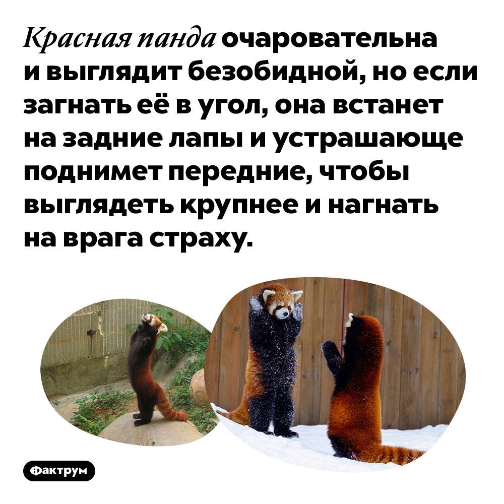 Если загнать вугол красную панду, она встанет назадние лапы, чтобы казаться больше. Красная панда очаровательна и выглядит безобидной, но если загнать её в угол, она встанет на задние лапы и устрашающе поднимет передние, чтобы выглядеть крупнее и нагнать на врага страху.