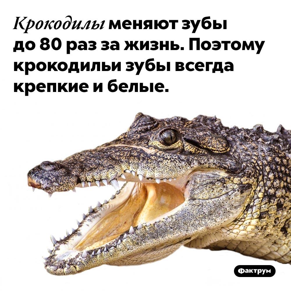 Почему укрокодила белые зубы. Крокодилы меняют зубы до 80 раз за жизнь. Поэтому крокодильи зубы всегда крепкие и белые.