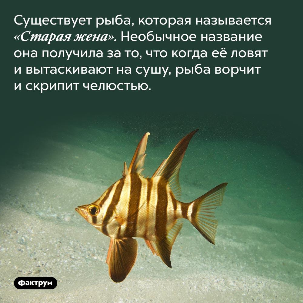 Рыба «Старая жена». Существует рыба, которая называется «Старая жена». Необычное название она получила за то, что когда её ловят и вытаскивают на сушу, рыба ворчит и скрипит челюстью.