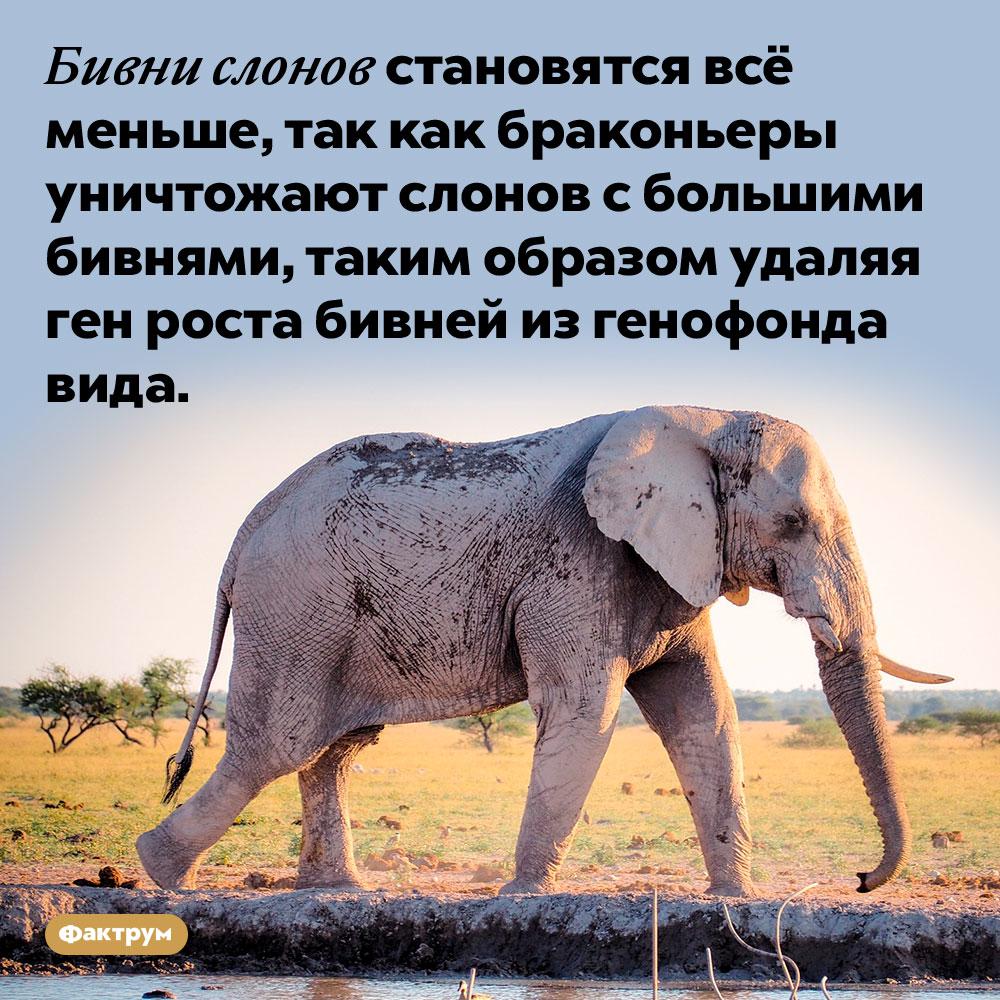 Бивни слонов становятся всё меньше. Бивни слонов становятся всё меньше, так как браконьеры уничтожают слонов с большими бивнями, таким образом удаляя ген роста бивней из генофонда вида.