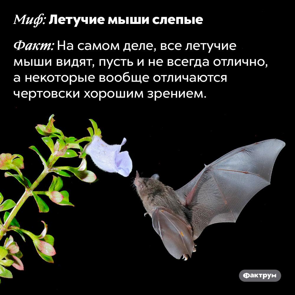 Летучие мыши неслепые —это миф. На самом деле, все летучие мыши видят, пусть и не всегда отлично, а некоторые вообще отличаются чертовски хорошим зрением.