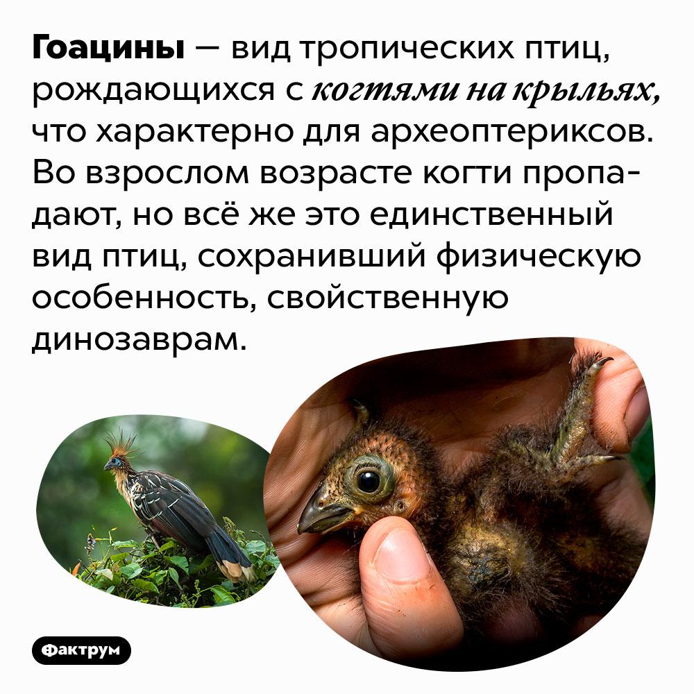 Гоацины рождаются скогтями накрыльях. Гоацины — вид тропических птиц, рождающихся с когтями на крыльях, что характерно для археоптериксов. Во взрослом возрасте когти пропадают, но всё же это единственный вид птиц, сохранивший физическую особенность, свойственную динозаврам.