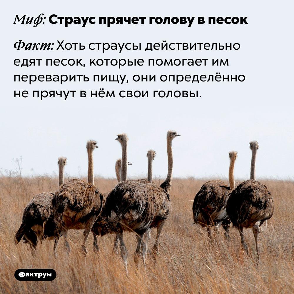 Страус непрячет голову впесок. Хоть страусы действительно едят песок, которые помогает им переварить пищу, они определённо не прячут в нём свои головы.