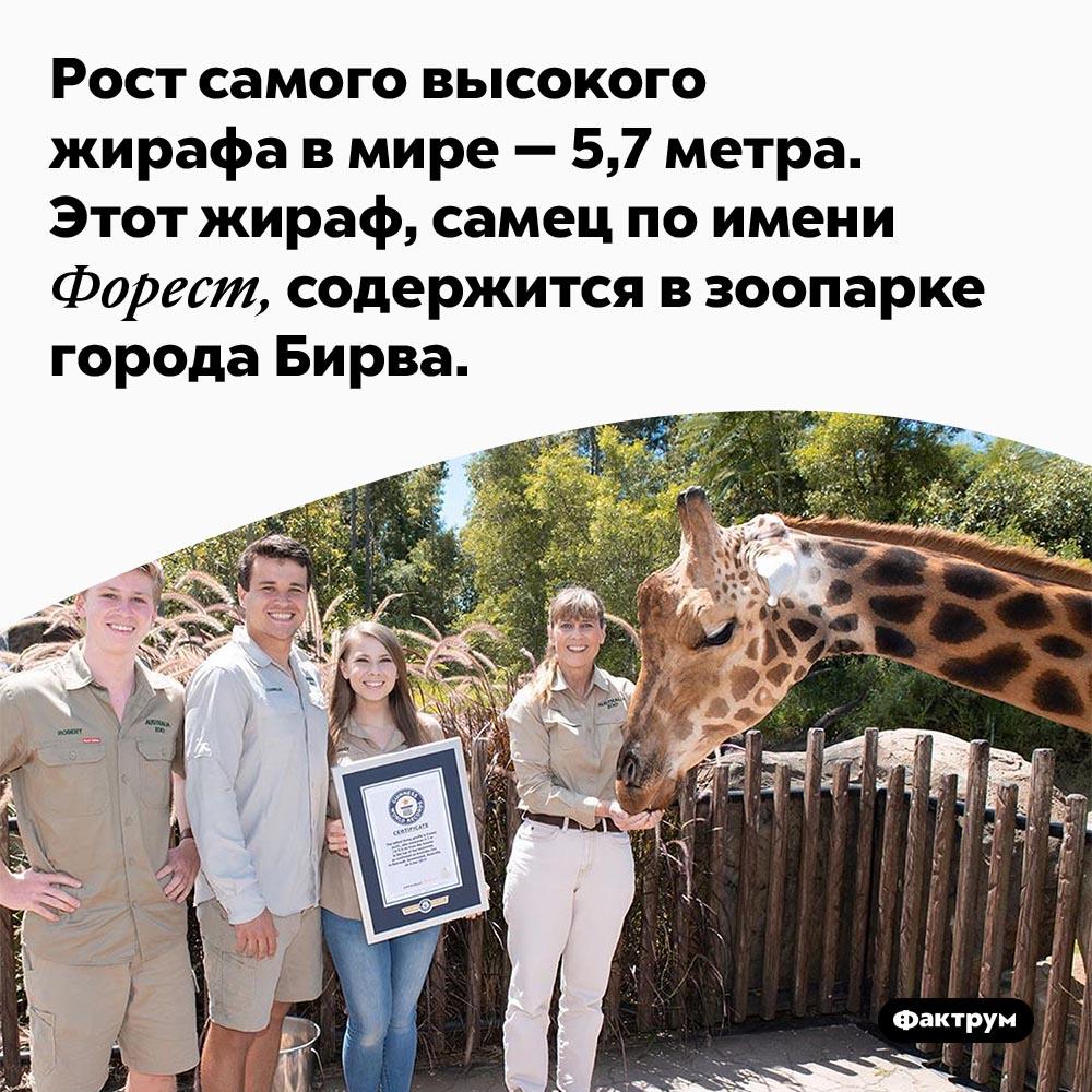 Самый высокий жираф вмире. Рост самого высокого жирафа в мире — 5,7 метра. Этот жираф, самец по имени Форест, содержится в зоопарке города Бирва.