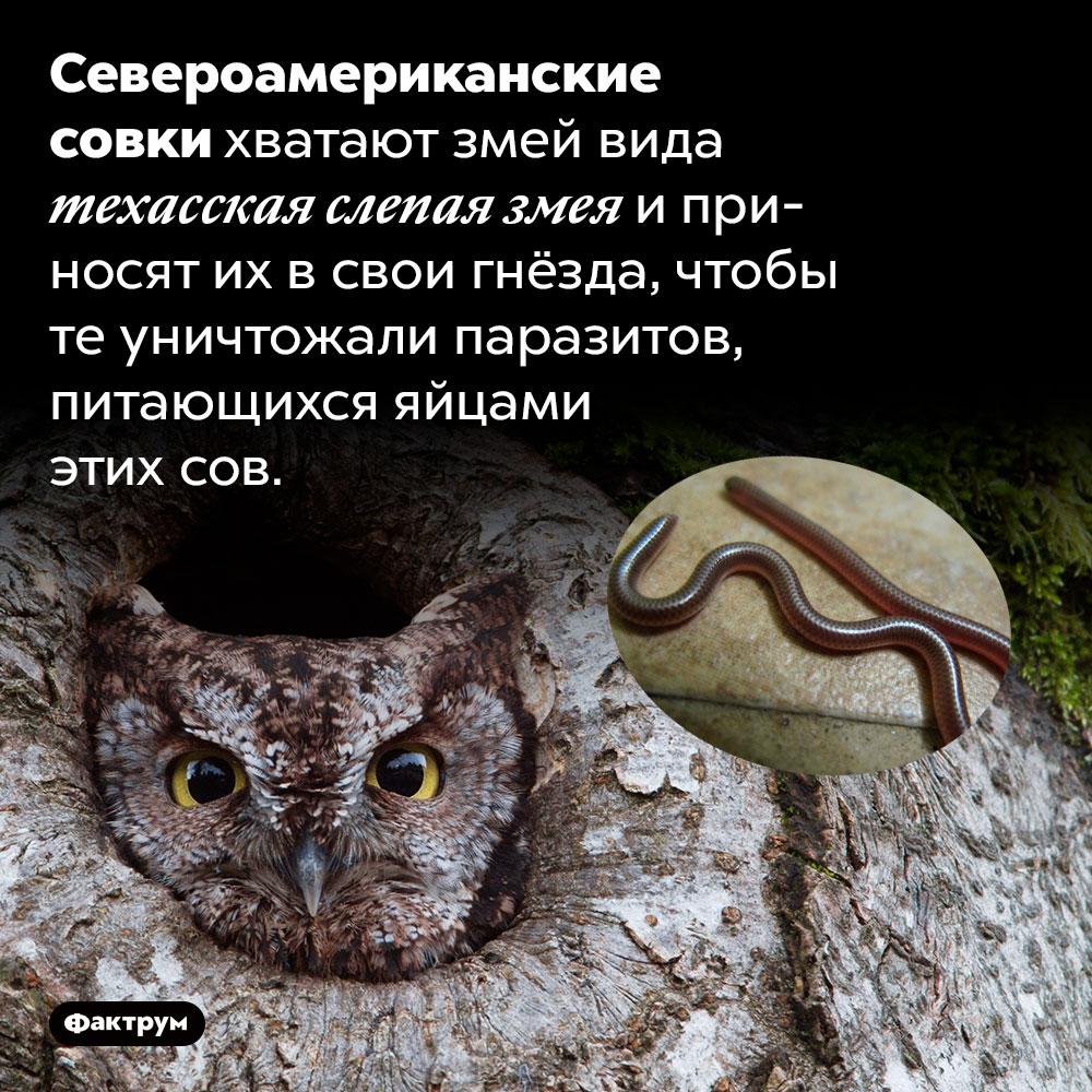 Североамериканские совки держат всвоих гнёздах змей. Североамериканские совки хватают змей вида техасская слепая змея и приносят их в свои гнёзда, чтобы те уничтожали паразитов, питающихся яйцами этих сов.
