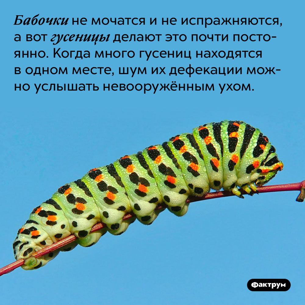 Бабочки немочатся инеиспражняются, авот гусеницы делают это постоянно. Когда много гусениц находятся в одном месте, шум их дефекации можно услышать невооружённым ухом.