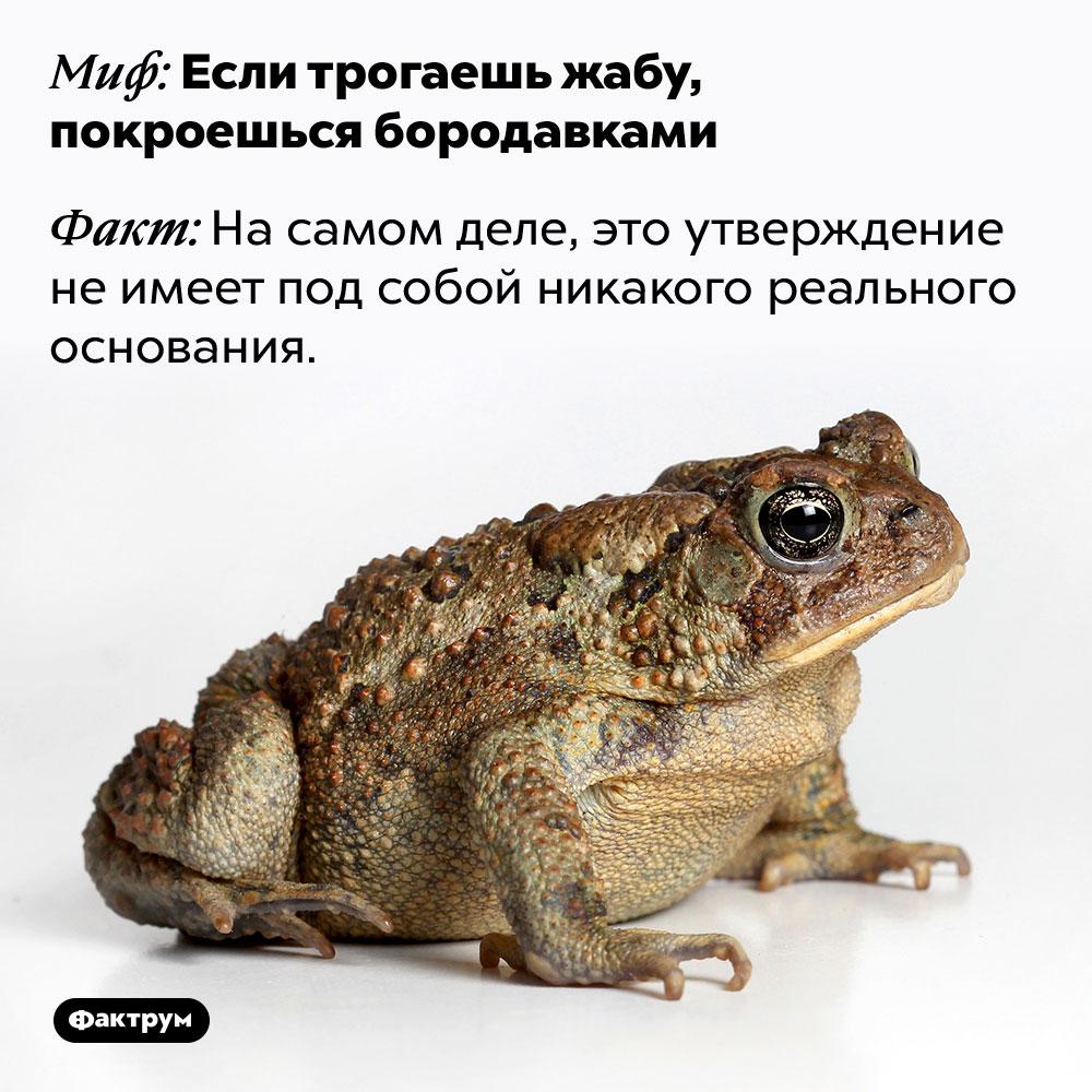 Если трогаешь жабу, покроешься бородавками —это миф. На самом деле, это утверждение не имеет под собой никакого реального основания.