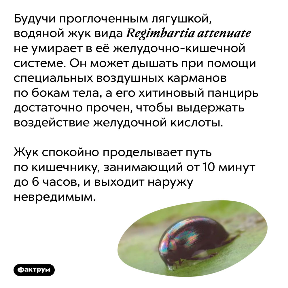 Водяной жук вида Regimbartia attenuate неумирает после того, как его съели. Будучи проглоченным лягушкой, водяной жук вида Regimbartia attenuate не умирает в её желудочно-кишечной системе. Он может дышать при помощи специальных воздушных карманов по бокам тела, а его хитиновый панцирь достаточно прочен, чтобы выдержать воздействие желудочной кислоты.  Жук спокойно проделывает путь по кишечнику, занимающий от 10 минут до 6 часов, и выходит наружу невредимым.