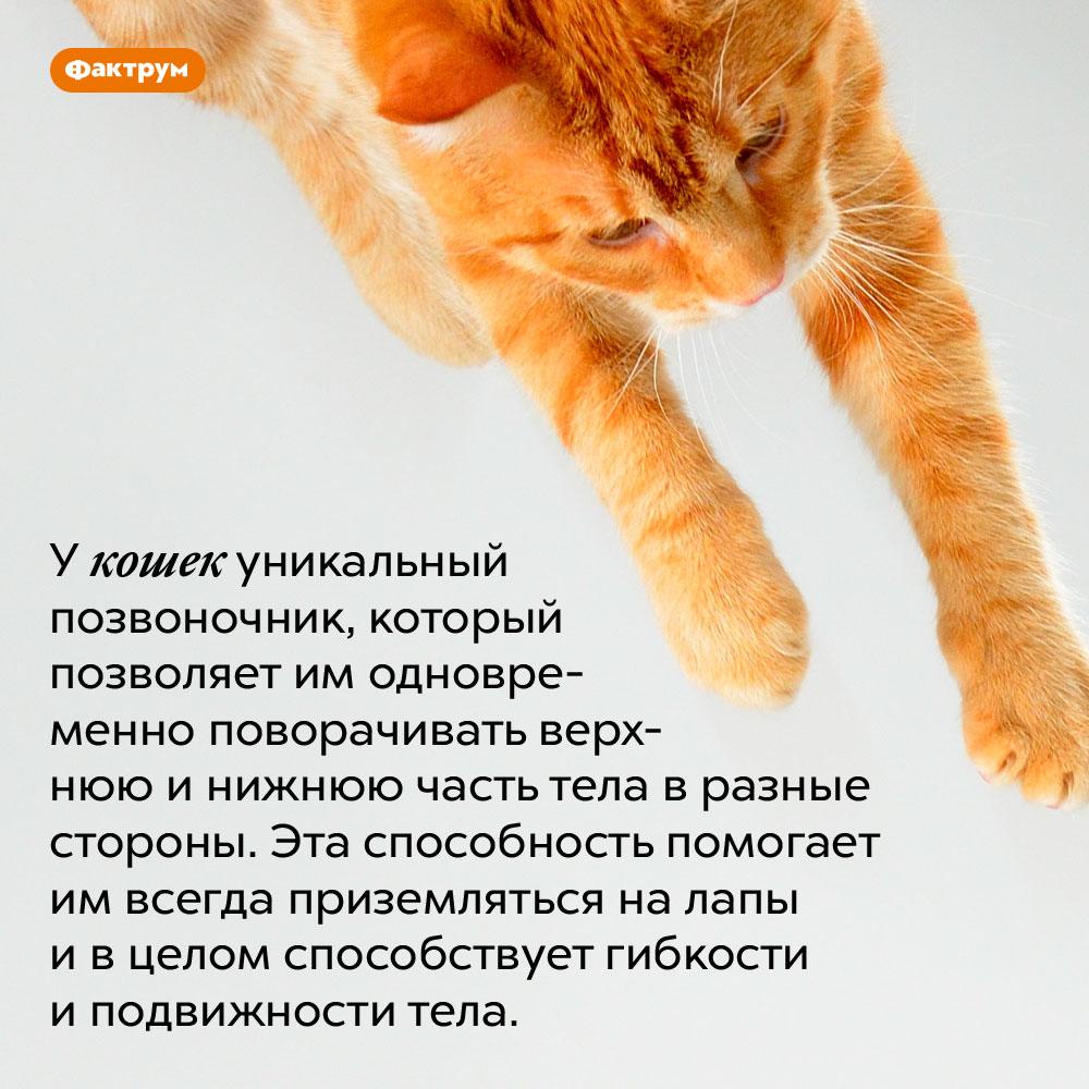 Позвоночник кошек позволяет им одновременно поворачивать верхнюю инижнюю часть тела вразные стороны. У кошек уникальный позвоночник, который позволяет им одновременно поворачивать верхнюю и нижнюю часть тела в разные стороны. Эта способность помогает им всегда приземляться на лапы и в целом способствует гибкости и подвижности тела.