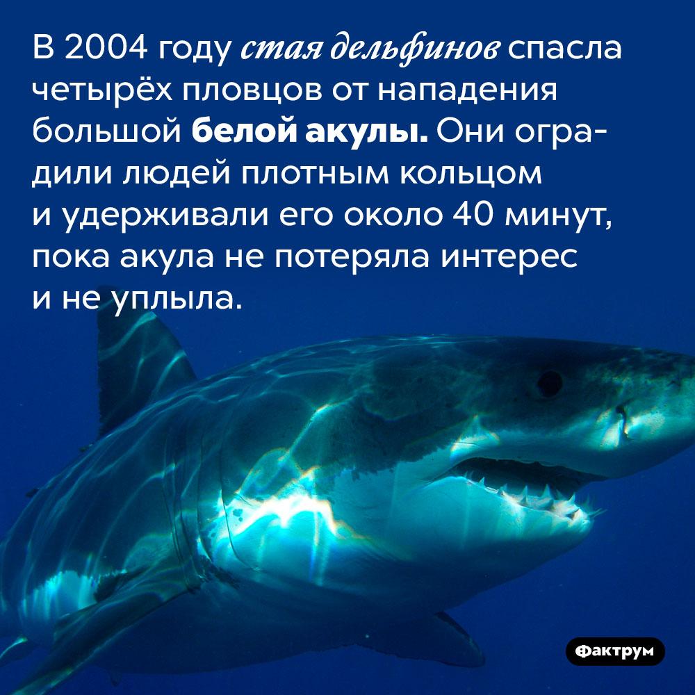 Дельфины могут спасать людей пособственной инициативе. В 2004 году стая дельфинов спасла четырёх пловцов от нападения большой белой акулы. Они оградили людей плотным кольцом и удерживали его около 40 минут, пока акула не потеряла интерес и не уплыла.